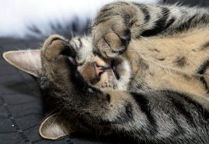 Cat covering eyes with paws
